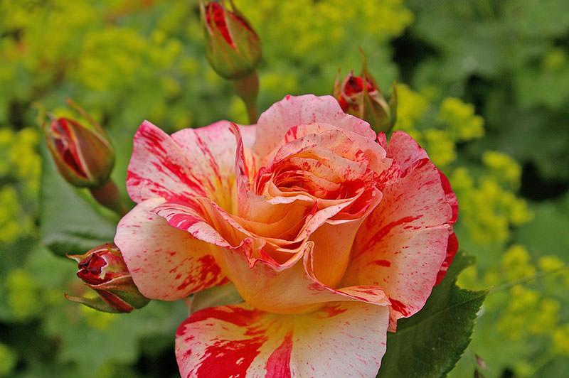 Самые красивые сорта роз фото галерея