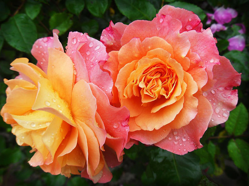 Портлендская роза