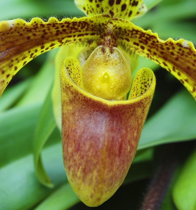 Вид орхидей Бульбофиллум