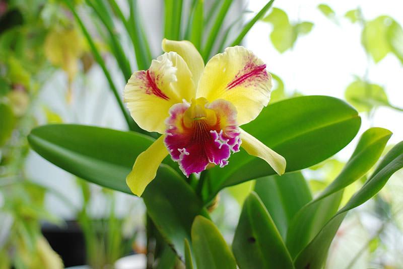Виды орхидей Каттлея
