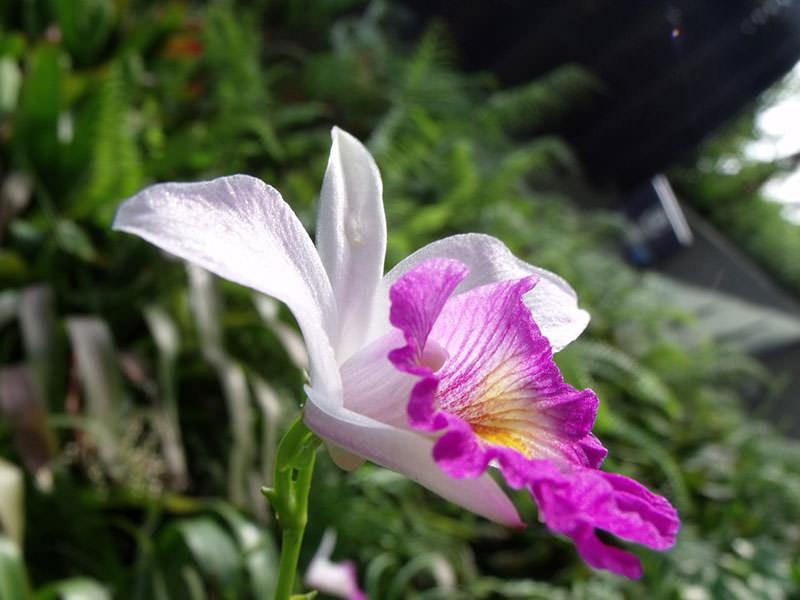 Виды орхидей - Каттлея