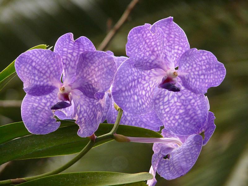 vidy-orhidej-14