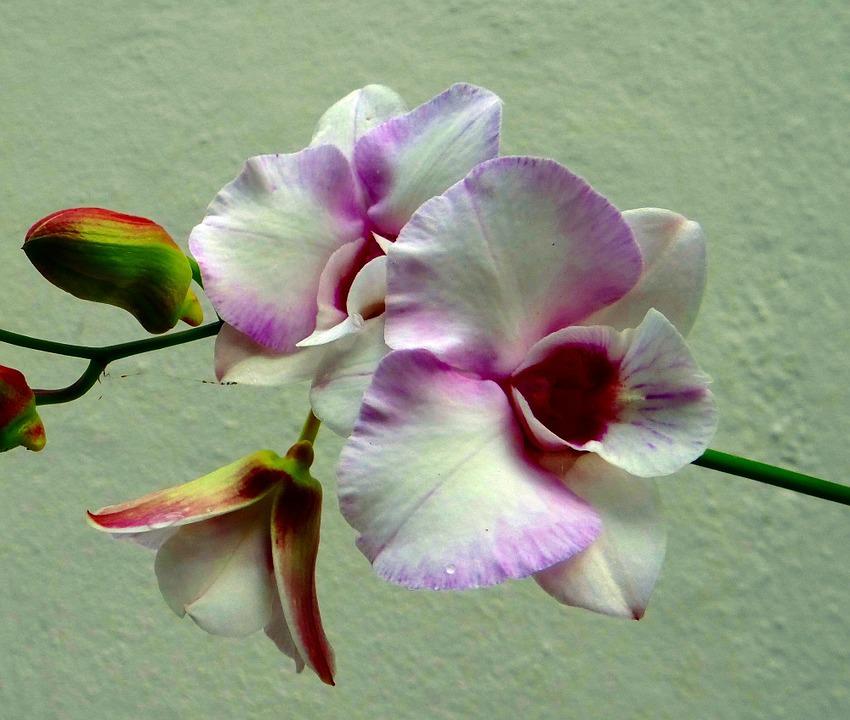 Вид орхидей Дендробиум