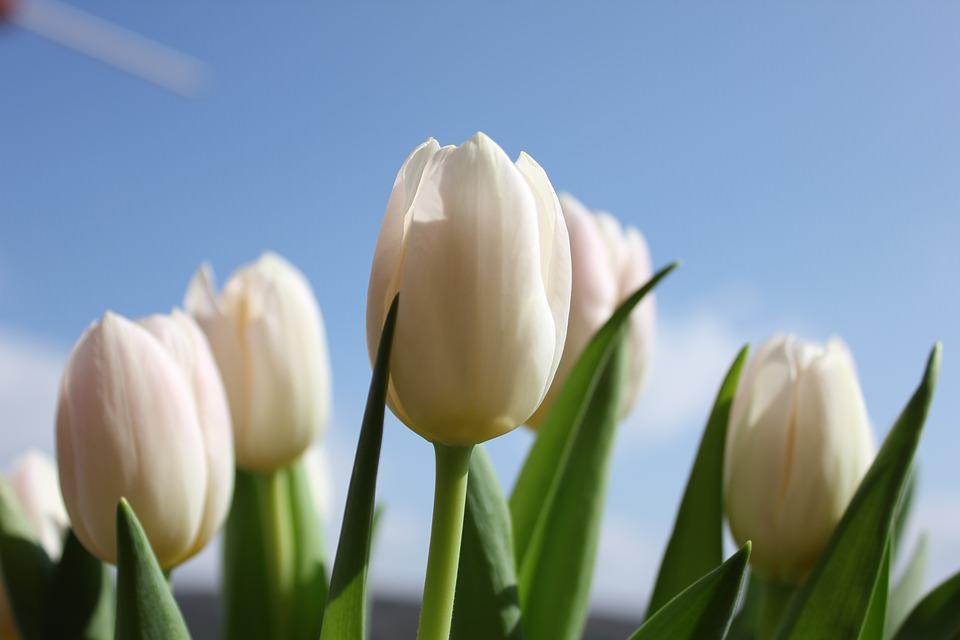 Белые тюльпаны для свадебного букета