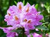 rododendron-05