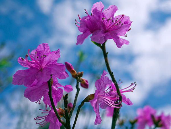 rododendron-07