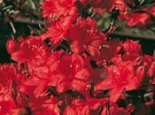 rododendron-104