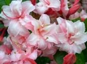 rododendron-110