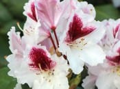 rododendron-111