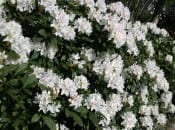 rododendron-116