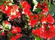 rododendron-120