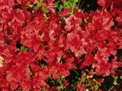 rododendron-121