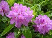 rododendron-122