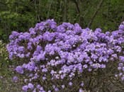 rododendron-123