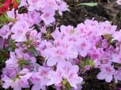 rododendron-128