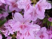 rododendron-131