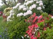 rododendron-132