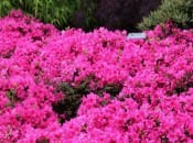 rododendron-134
