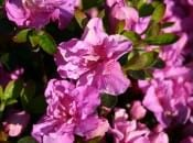 rododendron-135