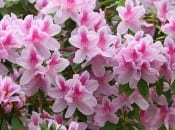 rododendron-137