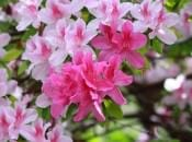 rododendron-138