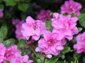 rododendron-139