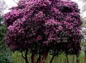 rododendron-16