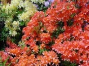 rododendron-27