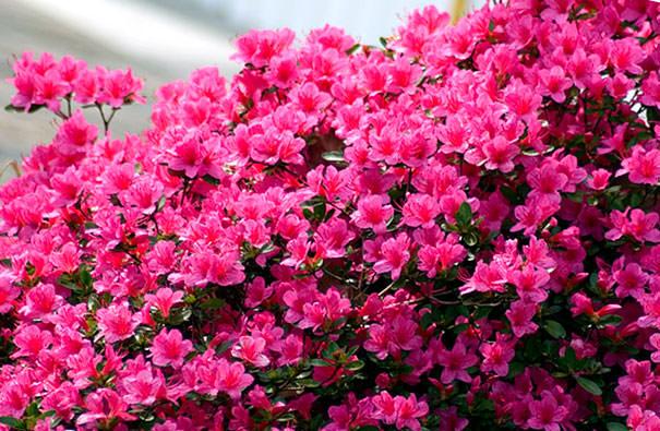 Рододендрон розовый фото