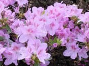 rododendron-32