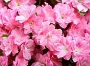 rododendron-34
