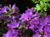 rododendron-36