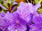 rododendron-38