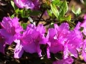 rododendron-42