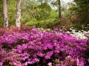 rododendron-50