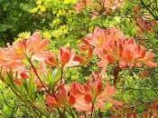 rododendron-foto-01