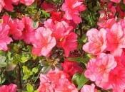 rododendron-foto-02
