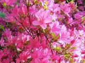 rododendron-foto-04