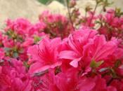 rododendron-foto-05