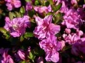 rododendron-foto-11