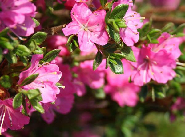 rododendron-foto-12