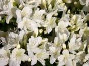 rododendron-foto-14