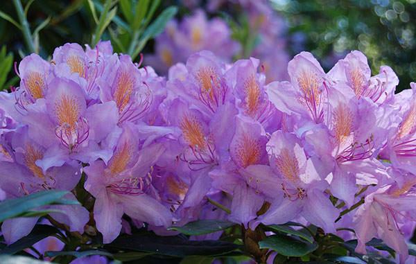rododendron-foto-16