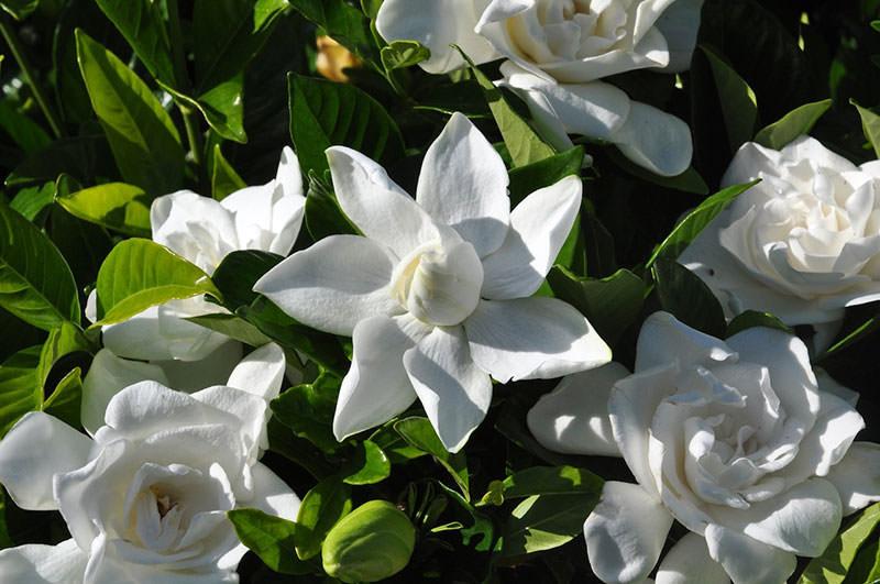 выращивание жасминовидной гардении