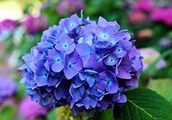 Гортензия фото — волшебное украшение сада