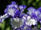 iris-foto-04