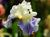 iris-foto-33