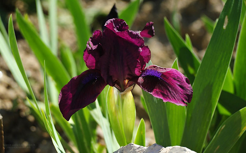 iris-foto-39