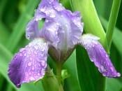 iris-foto-44