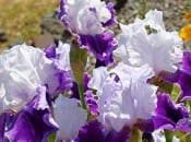 iris-foto-46